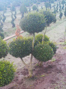 Buxus x and  'Green Mountain' Pom Pom