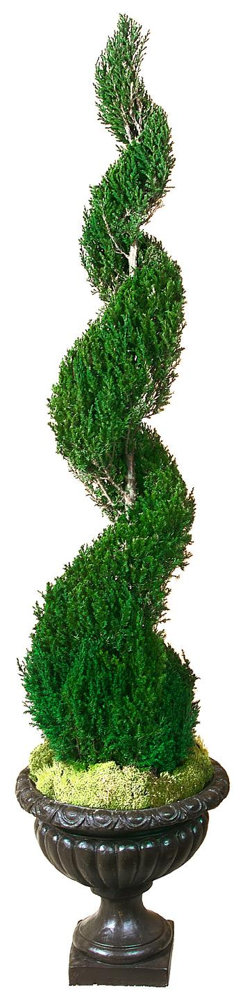 Preserved Classic Spiral Topiary 84 inch in Juniper Foliage