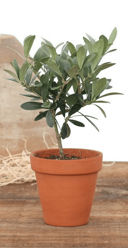 Olive Tree Live Topiary Plants