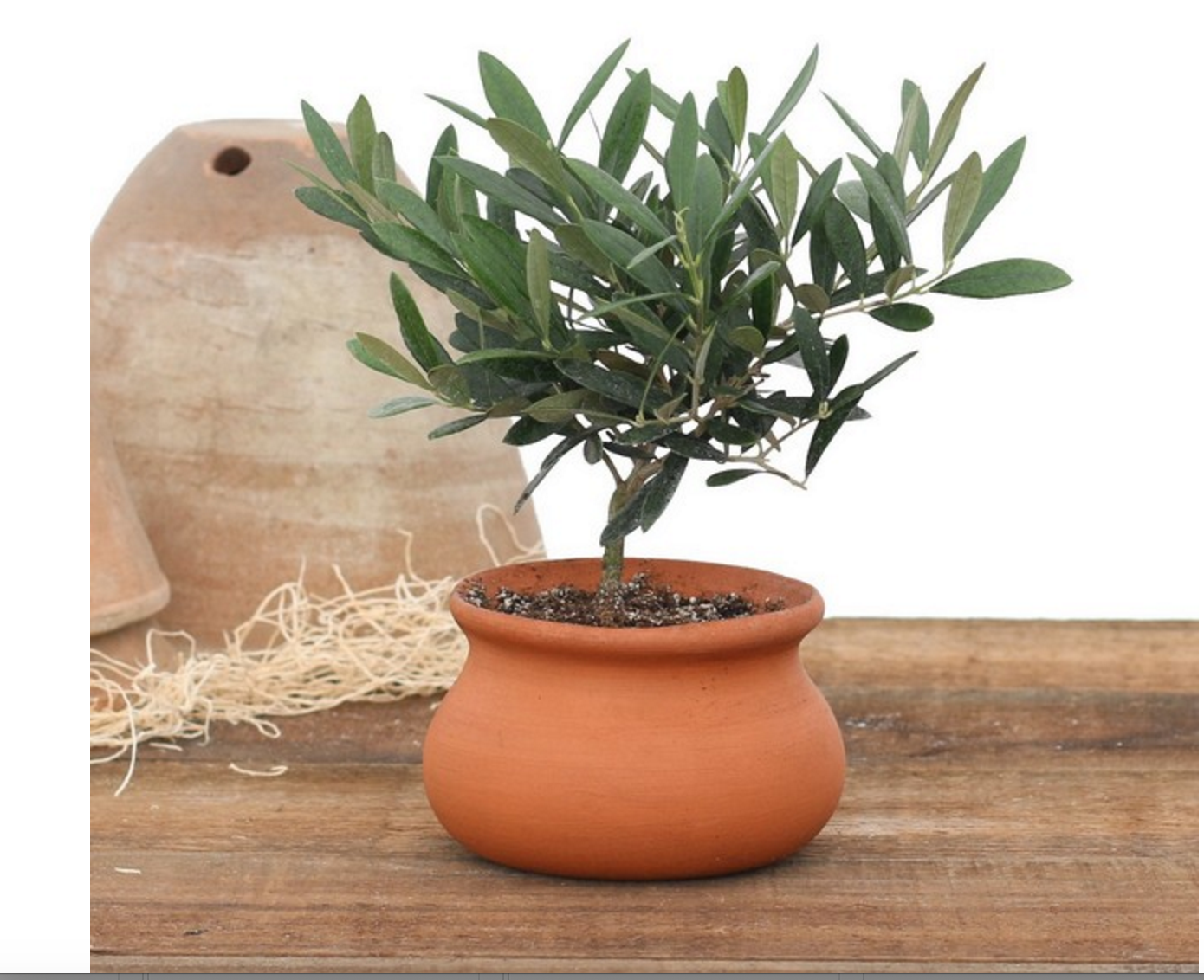 Olive Tree Topiary Olive Tree Plant With Terra Cotta Washpot