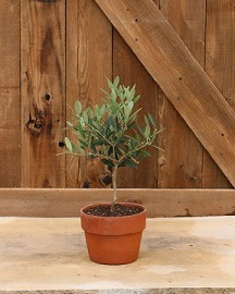 6100, Olive Tree Live Topiary Plants