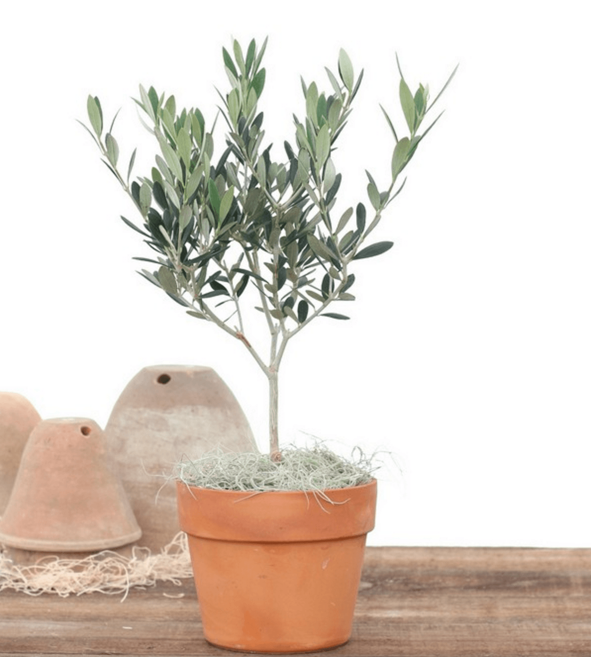 Olive Tree Live Topiary