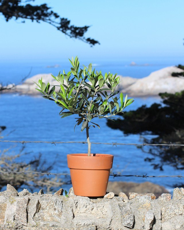 Live Topiary Part - 44: 6113, Olive Tree Live Topiary Plants