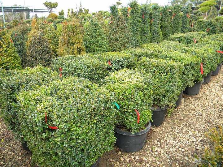 BUXUS SQUARE 18 INCH