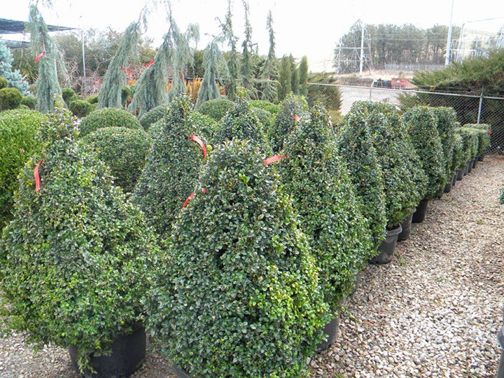 BUXUS PYRAMIDAL and 4 SIDED 36 INCH