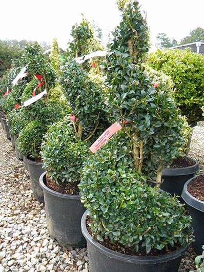 BUXUS SPIRAL 24 INCH
