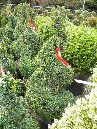 BUXUS SPIRAL 36 INCH