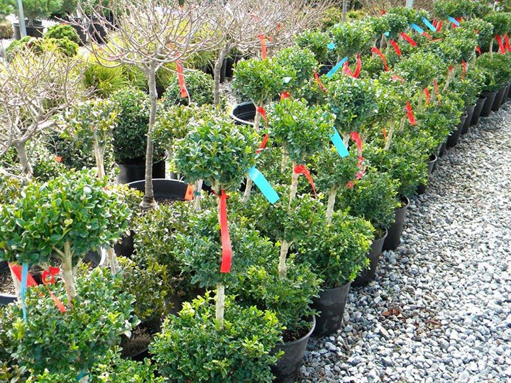 BUXUS 3 BALL 3GALLON