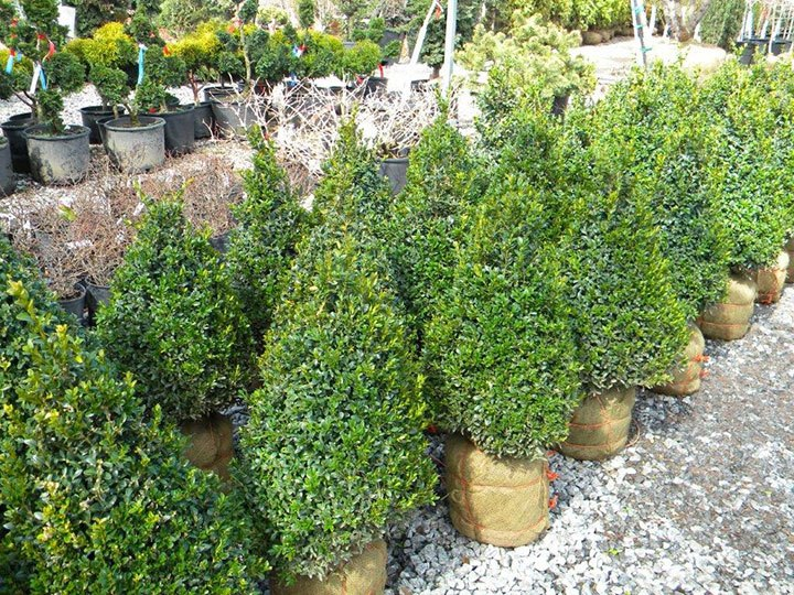 BUXUS CONE 18 INCH