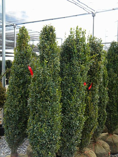 BUXUS GRAHAM BLANDY 60 INCH