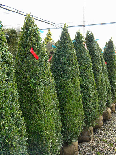 BUXUS SEMP OBELISK 54 and 60