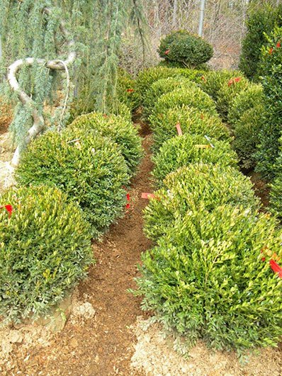 BUXUS JUSTIN BOWERS