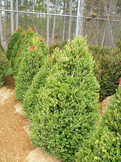 BUXUS JOHN BALDWIN 42 and 48