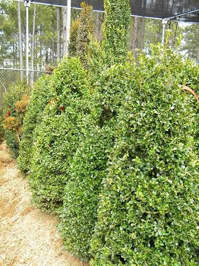 BUXUS GREEN BEAUTY 42 INCH