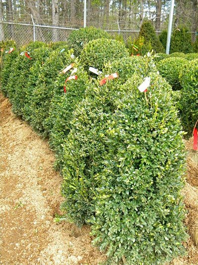 BUXUS NEWPORT BLUE 42 INCH PYRAMID