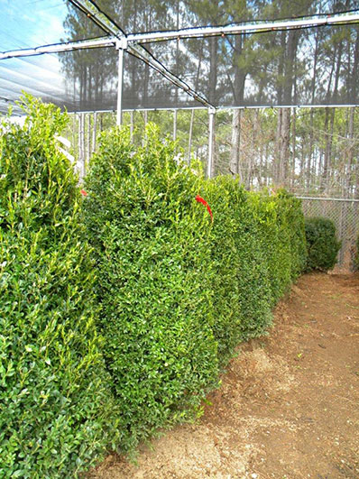BUXUS SEMP 54 and 60