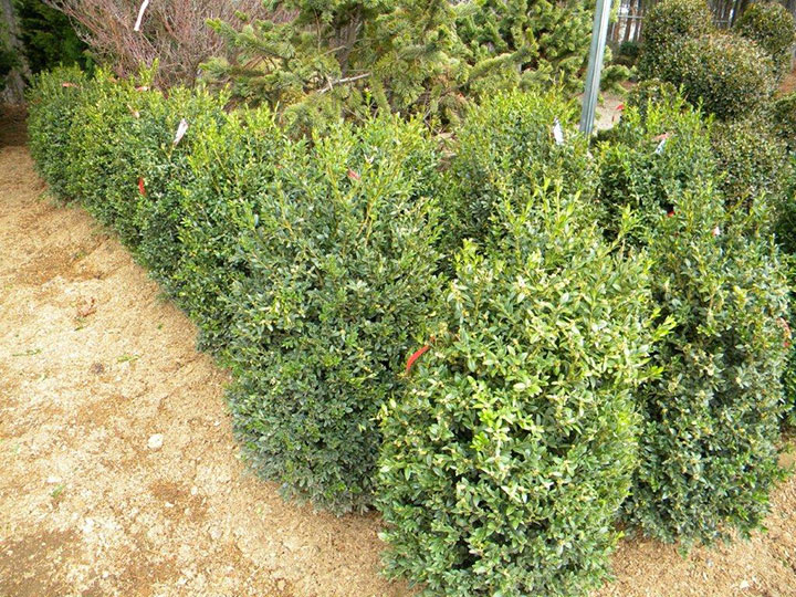 BUXUS NEWPORT BLUE 30 and 36