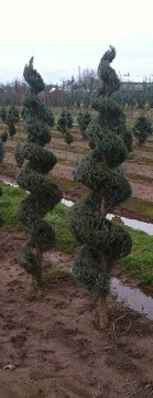 Juniperus s and  'Moonglow' Spiral