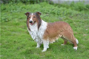 Dog Collie, 31 and 7 Inch x 10 and 75 Inch x 21 and 5 Inch