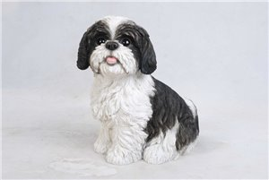 Dog Shih TZU Sitting Black and White, 11 Inch x 6 Inch  x 10 and 5 Inch