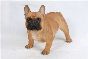 Dog French Bulldog Large, 20 Inch x 9 and 5 Inch x 13 Inch