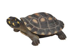 Large Spotted Turtle, 17 and 5 Inch x 13 Inch x 7 Inch