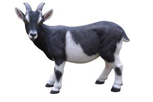 Goat Black and White, 23 Inch x 10 and 5 Inch x 19 and 5 Inch