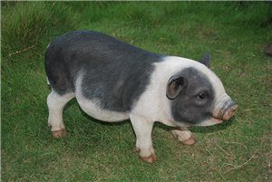 Pot Bellied Pig Standing, 7 inch   x 7 inch   x 9 and 5 inch