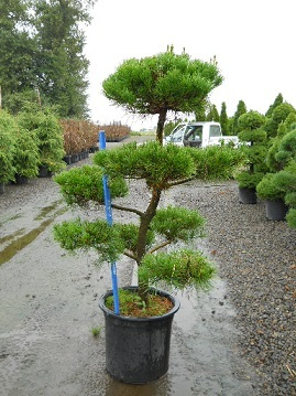 Pinus Contorta Pom Pom 10 gal and