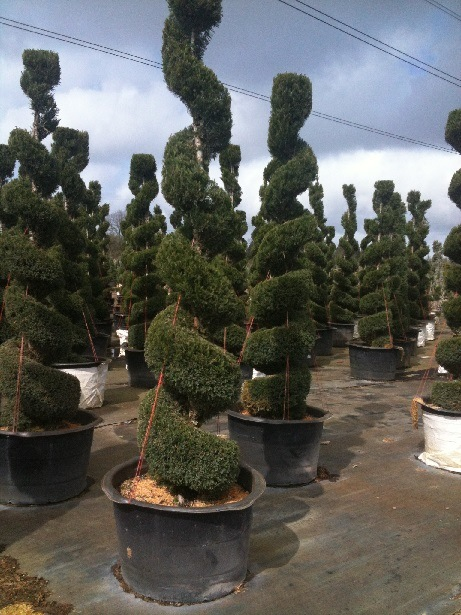 Juniperus ch and  'Spartan' Spiral