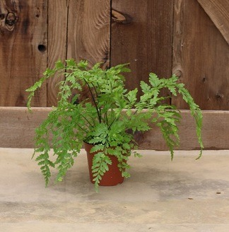 Live Fern Topiary: 9625