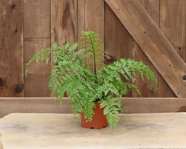 Live Fern Plant | Item 9630  6.5 inch Mother Fern Topiary
