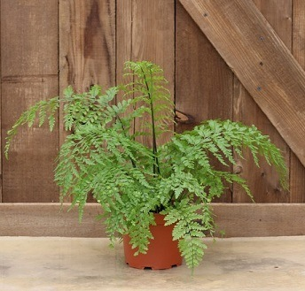 Live Fern Plant | Item 9630  6 and half inch Mother Fern Topiary