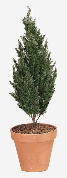 43 Inch Cypress Bush (Medium)