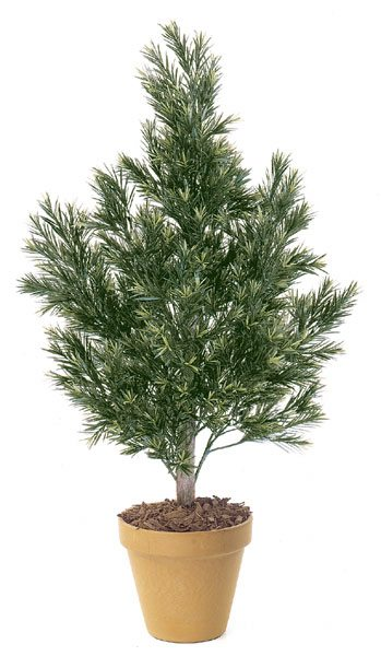 4 Foot Podocarpus Bush