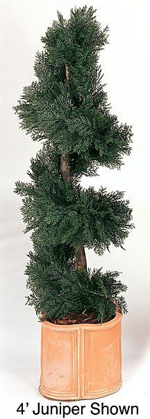Juniper Spiral Topiary 5 feet