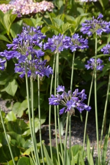 Agapanthus  Joyful Blue Too