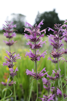 Agastache  Licorice Candy
