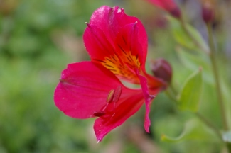 Alstroemeria  Red Rose