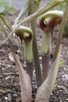 Arisaema thunbergii ssp and  urashima