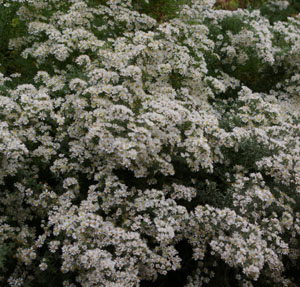 Aster ericoides  First Snow