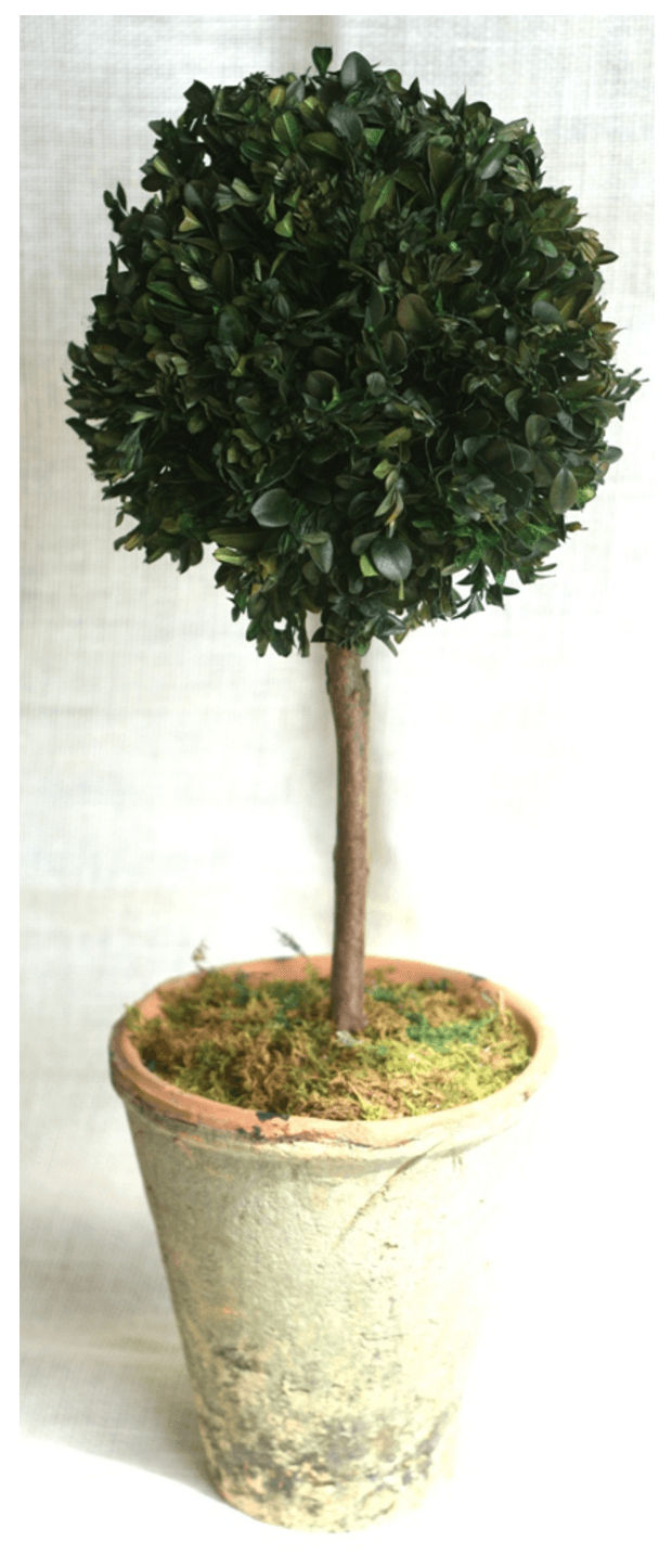 "24"" Preserved Boxwood Single Ball"