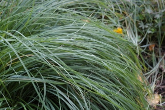 Carex flacca  Blue Zinger