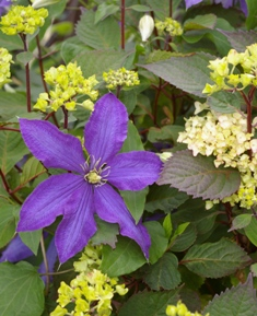 Clematis  Rhapsody