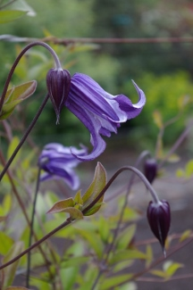 Clematis  Roguchi No and  2