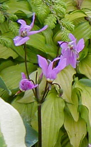 Dodecatheon meadia  Pink