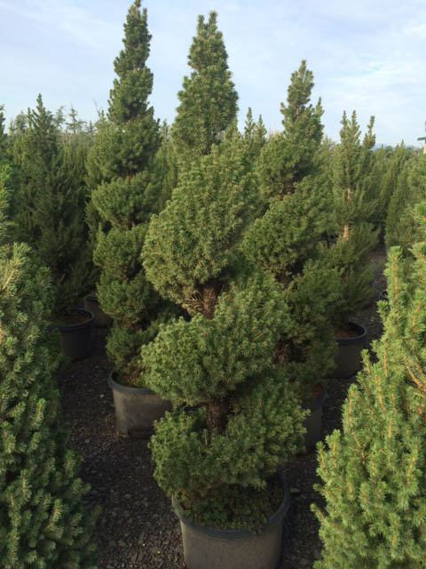 Outdoor Spiral Christmas Trees