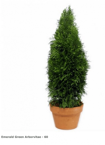 Emerald Green Arborvitae 60 inches Tall