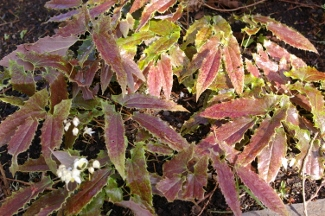 Epimedium wushanense  Spiny Leaf Form