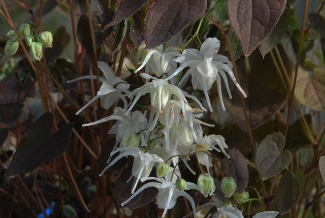 Epimedium youngianum  Star Cluster  (x)